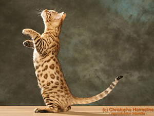 chat race bengal